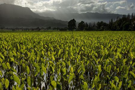Taro fields and mountains in Hanalei, Kauai, Hawaii.