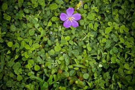 One purple flower hanging on top of green foliage. Space for copy. Stock Photo