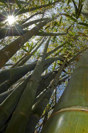 Sunbeam shining through bamboo forest. Stock fotó