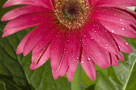 Close up of a pink Gerbera flower with water dew shining on it.