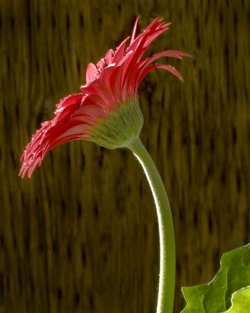 Profile of one red Gerbera flower with dewdrops shining around.  Stock Photo