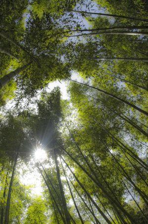 Sunbeam shining through bamboo forest. Stock Photo