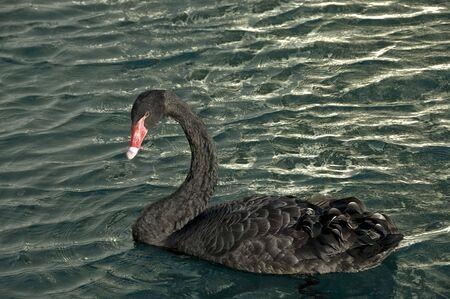 Profile of one black swan floating on water.