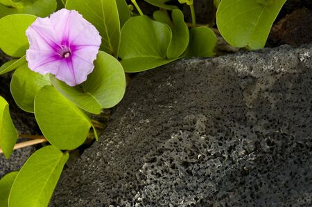 Beautiful purple flower laying down on tropical volcanic lava rock. Space for copy.
