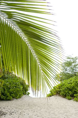 Palm tree leaf leaning down on the way to the sandy beach.