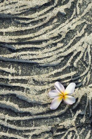Plumeria flower on sandy lava rock. Background, space for copy. Vertical shot.