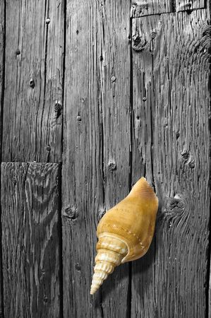 Sea gastropod shell in color sitting on black and white, weathered hardwood floor.