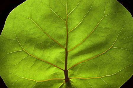 Green leaf macro, detail of the veins look like a tree inside a leaf. Stock Photo