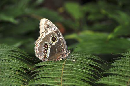 One buttterfly landed on a leaf of fern. Buckeye butterfly.