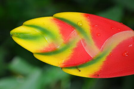 Tropical heliconia flower, ants and water drops. Stock fotó