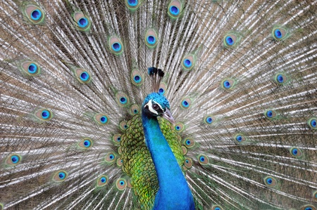 Peacock and feathers close up.