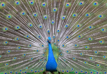 Peacock with beautiful feathers and open plumes.