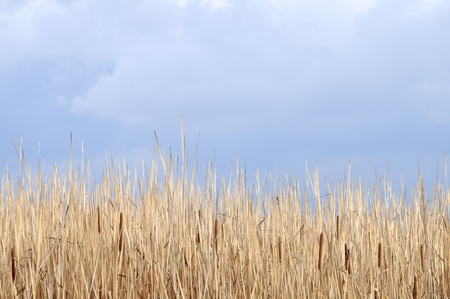 Reed and cattail against cloudscape background. Stock Photo