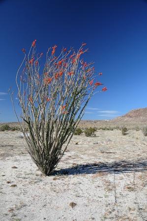 ocotillo: Ocotillo blooming in the desert.