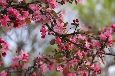Spring Crab Apple Blossoms