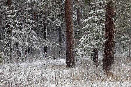 walk in winter forest after a snowfall photo