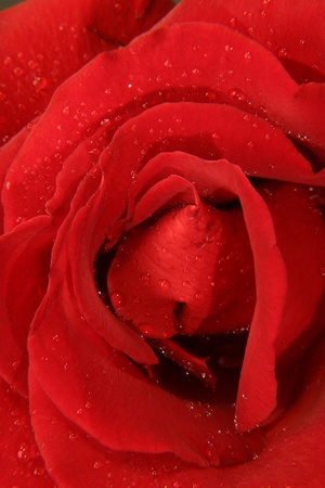 rose flower with dew drops photo