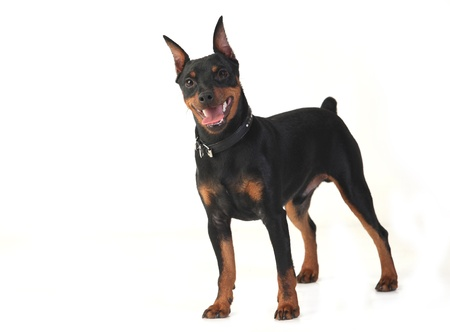 dwarf pinscher playing in the studio on a white background photo