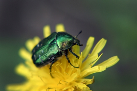 large bright green cockchafer sits on a yellow dandelion  Stock Photo