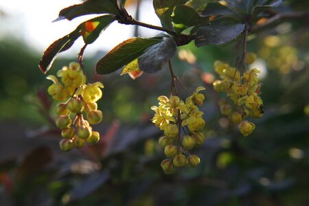 barberry: barberry flowers in spring garden Stock Photo