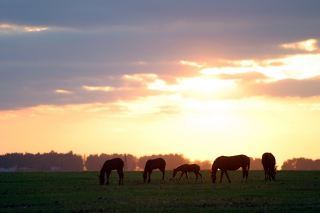 beautiful silhouettes of horses grazing in a meadow Stock Photo - 17049090