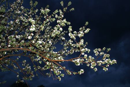 apple blossom: blooming apple tree in the garden