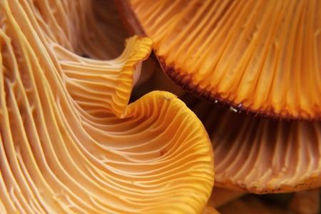 beautiful and very bright, orange mushroom in macro