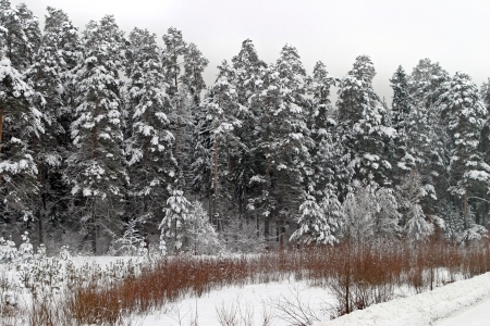 a long walk in nature snowy Russian winter photo