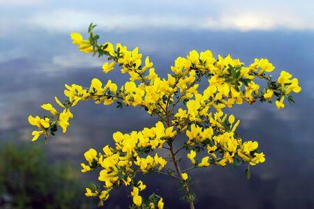 kama: Siberian pea shrub  Karagan  blooms on the Kama River