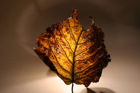 very beautifully illuminated dry, yellow, autumn leaf photo