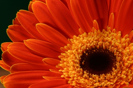 very beautiful bright orange flower in macro photo