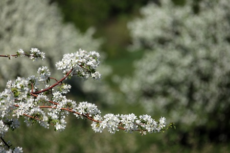 walk outdoors during the spring flowering apple trees photo