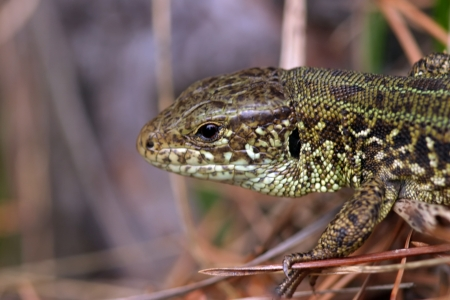 small wild lizard walking on the grass photo
