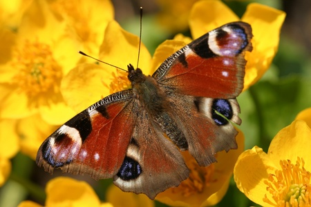 disclosed butterfly sits on a spring primrose photo