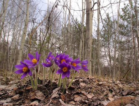Beautiful spring purple wild flowers close up Stock Photo - 18389725