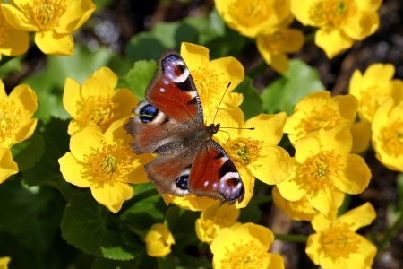 disclosed: disclosed butterfly sits on a spring primrose Stock Photo