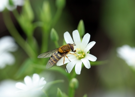 fly-bee sits on a white spring flower photo