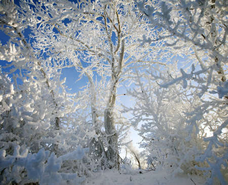 very beautiful trees completely covered with frost photo