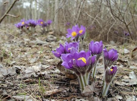 Beautiful spring purple wild flowers close up Stock Photo