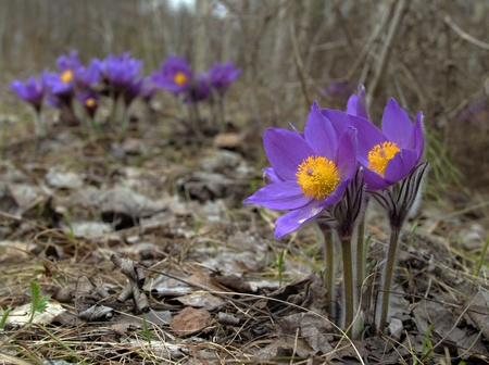 Beautiful spring purple wild flowers close up Stock Photo - 18390968