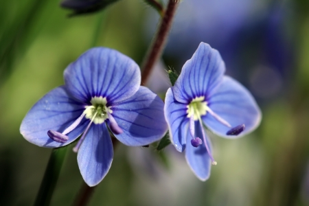 beautiful small blue flowers bloom in spring Stock Photo