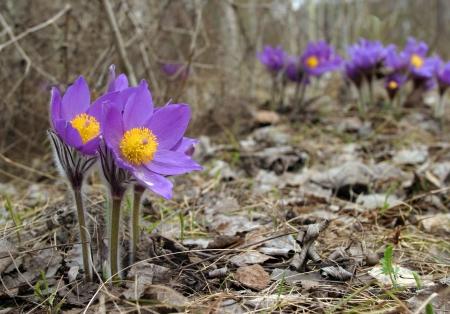Beautiful spring purple wild flowers close up Stock Photo - 19392602