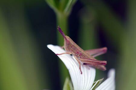 sepal: green grasshopper on a white flower petal