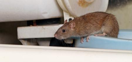 rat in het toilet op zoek naar oude water