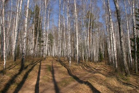 walk along the road in the spring woods birch photo