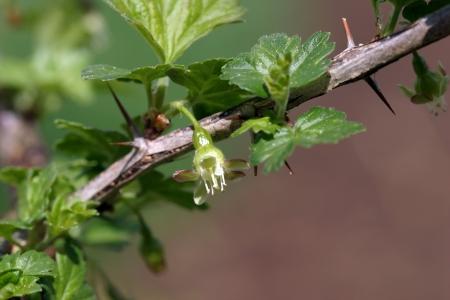 gooseberry bush: uva spina cespuglio fiorito nel giardino in primavera Archivio Fotografico