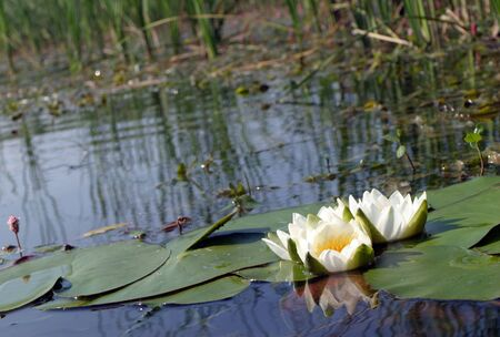 nymphaea odorata: white water lilies in a pond in summer Stock Photo
