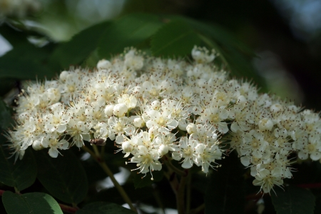 lush bunches of white blossoms in spring Rowan photo