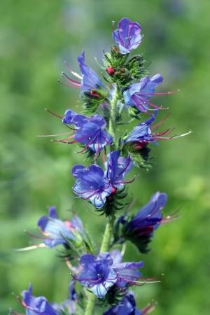 青い蜂蜜植物のクローズ アップの分野を開花 写真素材