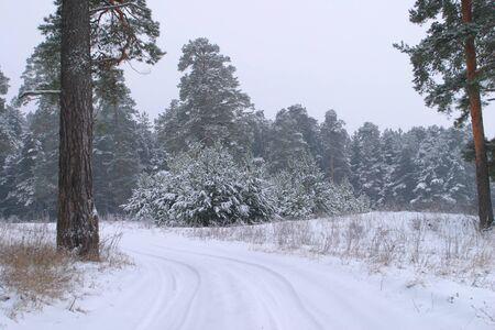 landscape winter road in a dense spruce forest covered with snow photo